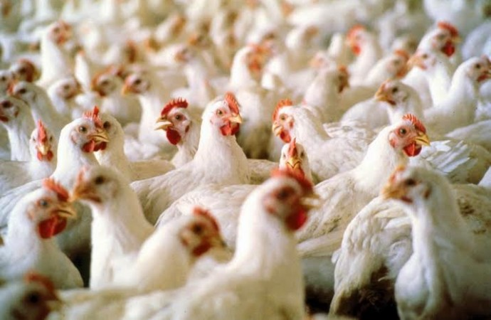 poultry-Dailytimes