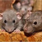 Rats Blamed For Eating N17 Million Banknotes Inside ATM