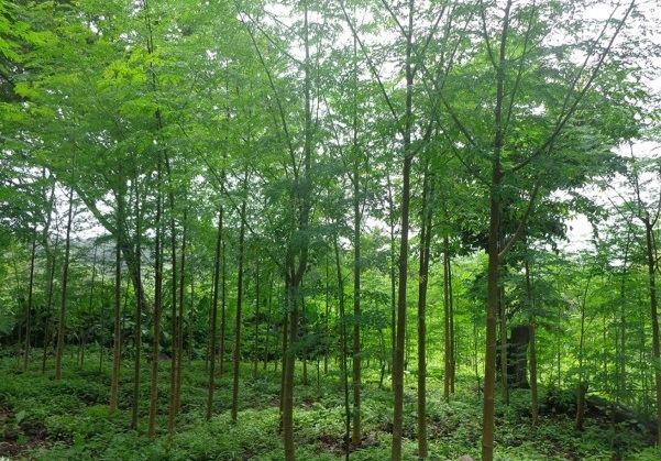 Association set to engage over 300, 000 youths in moringa farming