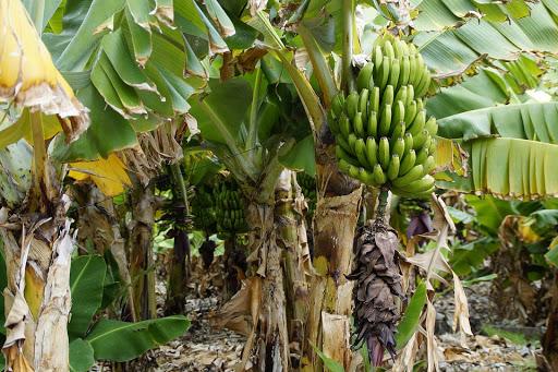 Banana/Plantain