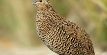 Quail meat, a remedy to high blood pressure, expert says