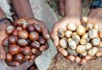 FG maps out modalities to achieve good post-harvest in shea production