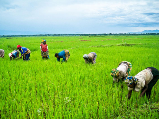 CBN to compensate 550,000 rice farmers affected by flood